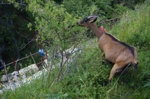 A kecskék nem féltek a magasban
